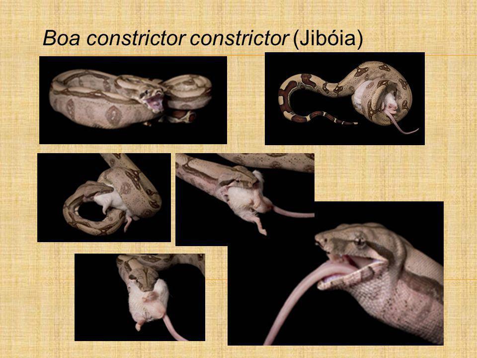 Boa constrictor constrictor (Jibóia)