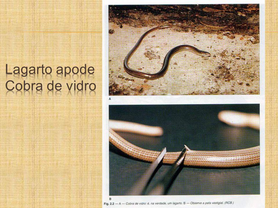 Lagarto apode Cobra de vidro