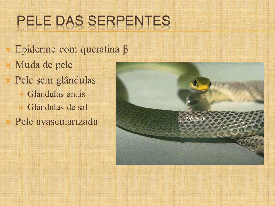 Pele das serpentes Epiderme com queratina β Muda de pele