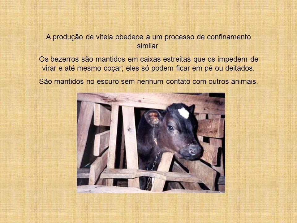 A produção de vitela obedece a um processo de confinamento similar.