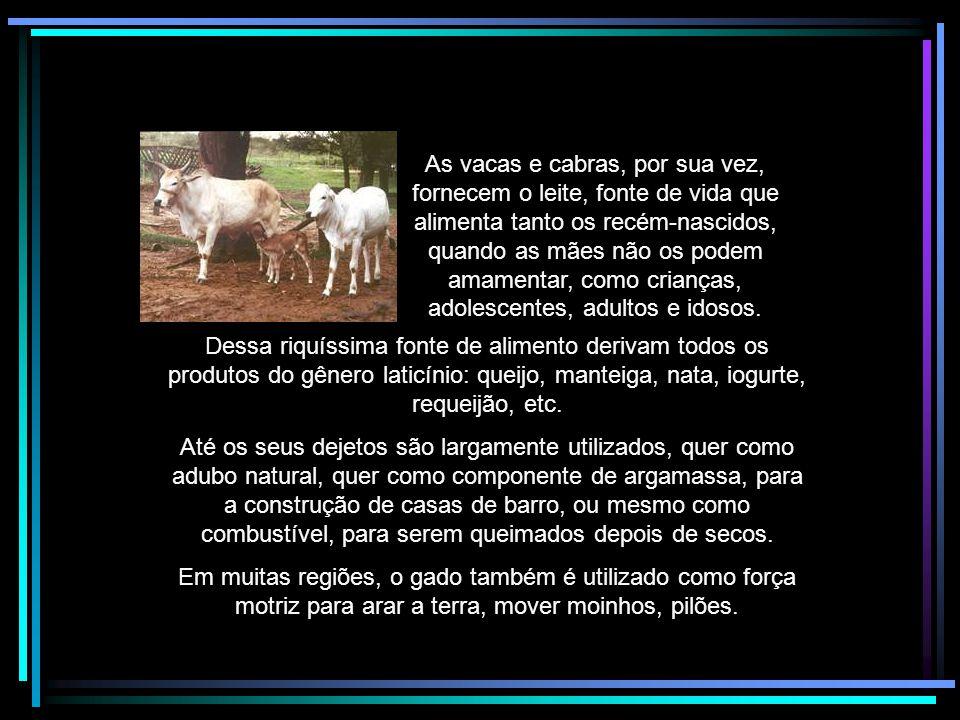 As vacas e cabras, por sua vez, fornecem o leite, fonte de vida que alimenta tanto os recém-nascidos, quando as mães não os podem amamentar, como crianças, adolescentes, adultos e idosos.