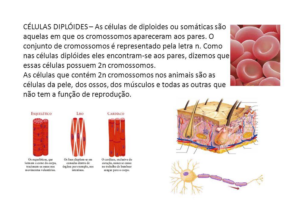 CÉLULAS DIPLÓIDES – As células de diploides ou somáticas são aquelas em que os cromossomos apareceram aos pares. O conjunto de cromossomos é representado pela letra n. Como nas células diplóides eles encontram-se aos pares, dizemos que essas células possuem 2n cromossomos.