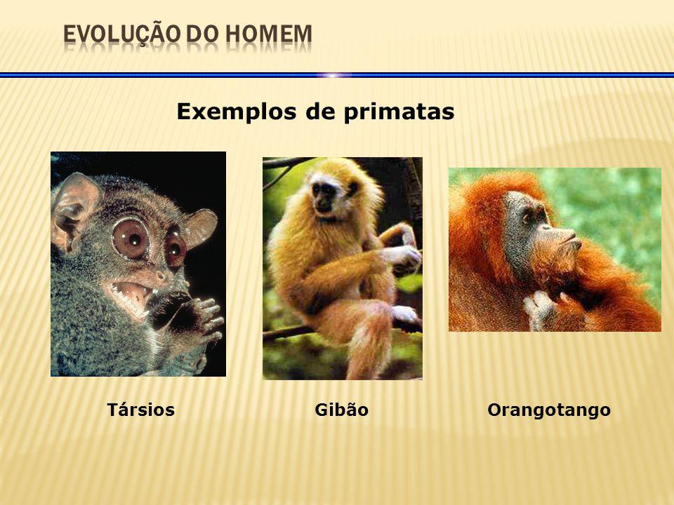 EVOLUÇÃO DO HOMEM Exemplos de primatas Társios Gibão Orangotango