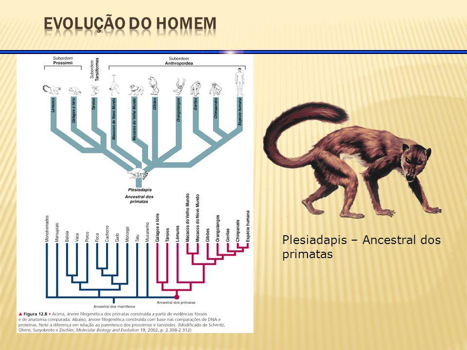 EVOLUÇÃO DO HOMEM Plesiadapis – Ancestral dos primatas