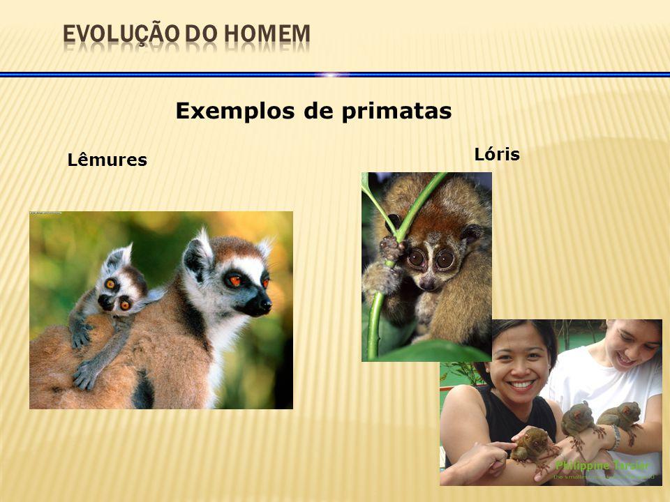 EVOLUÇÃO DO HOMEM Exemplos de primatas Lóris Lêmures
