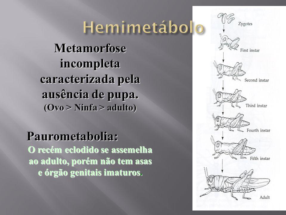 Hemimetábolo Metamorfose incompleta caracterizada pela ausência de pupa. (Ovo > Ninfa > adulto) Paurometabolia:
