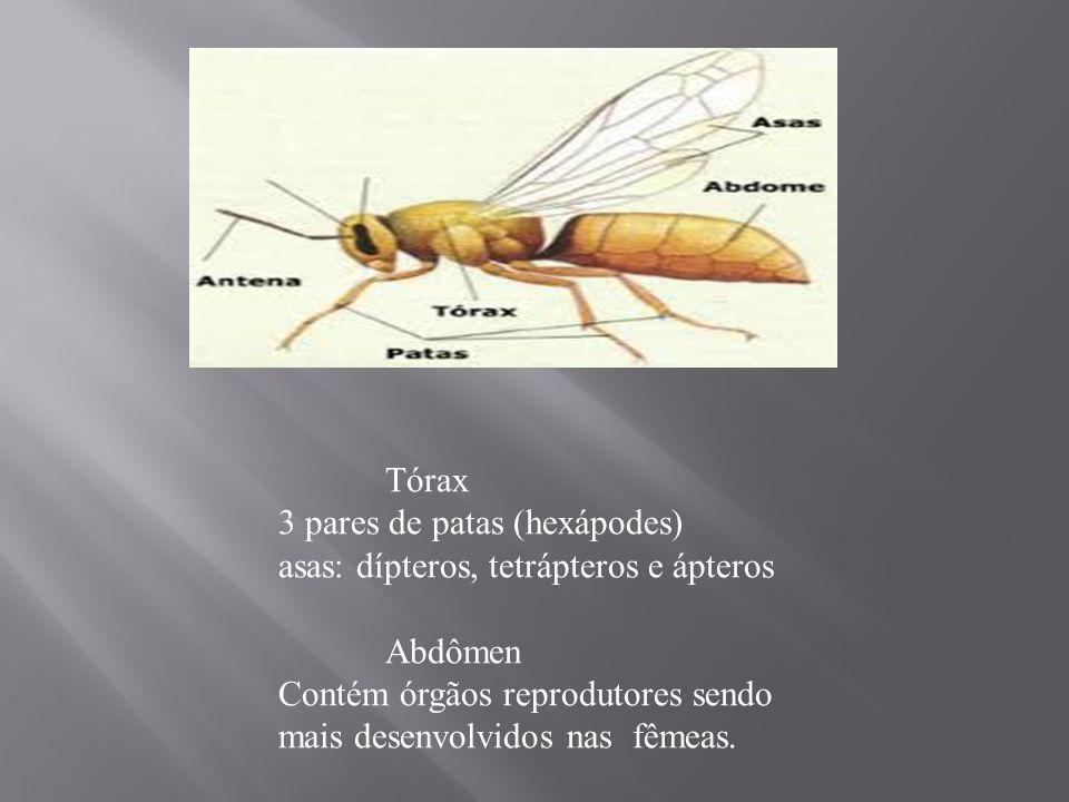 Tórax 3 pares de patas (hexápodes) asas: dípteros, tetrápteros e ápteros. Abdômen.