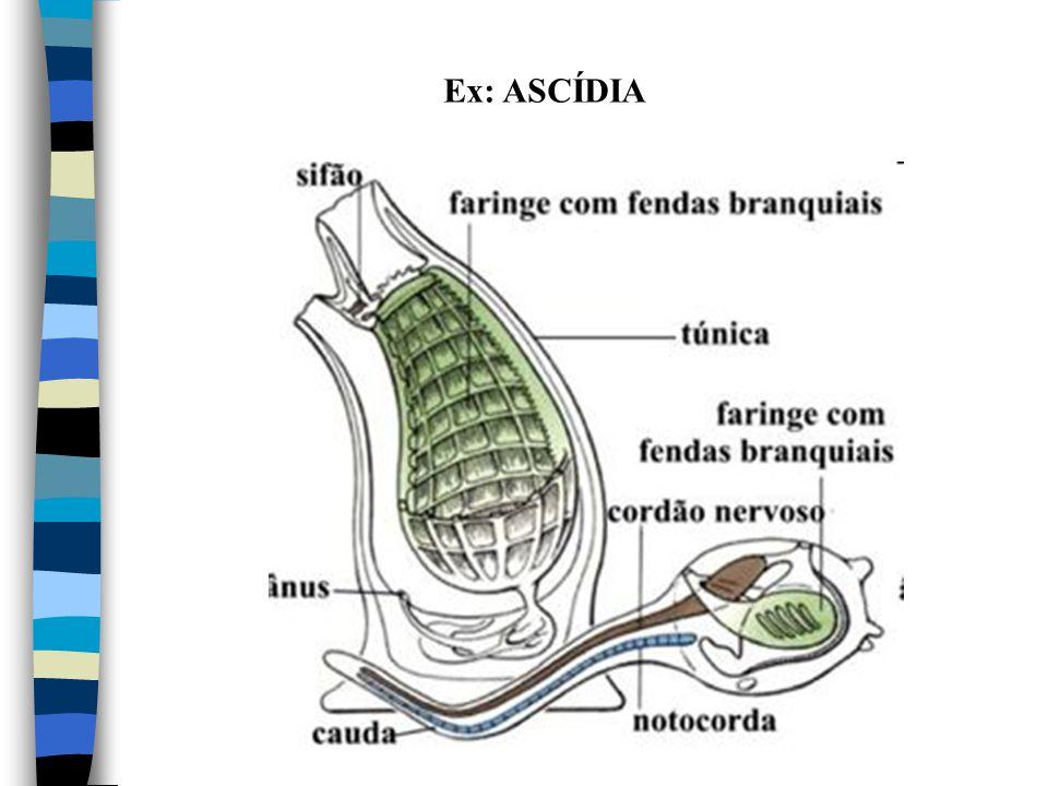Ex: ASCÍDIA