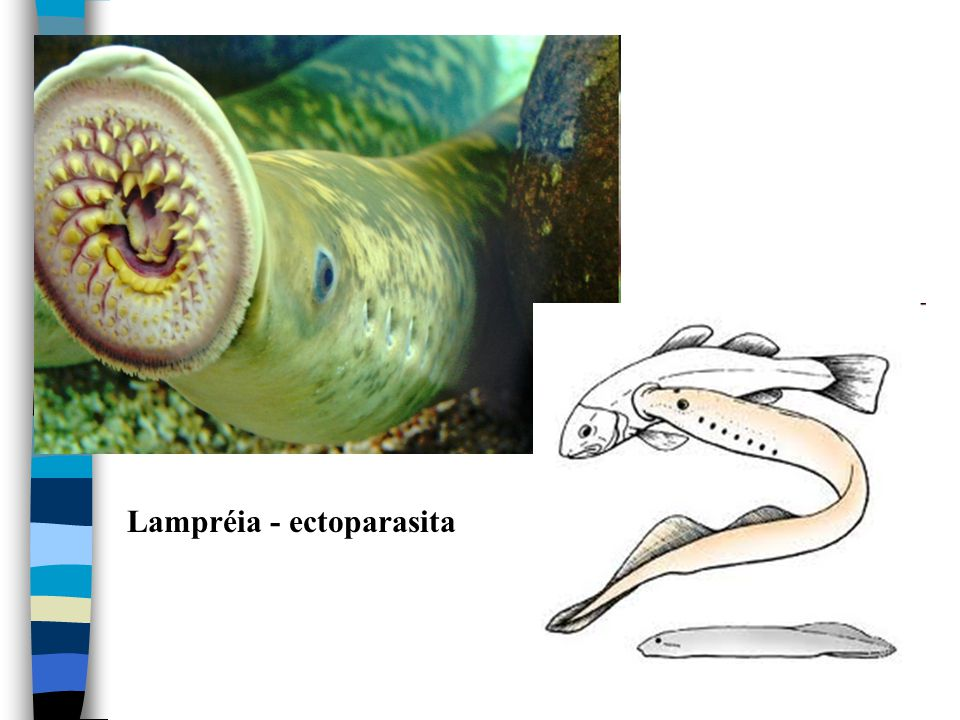 Lampréia - ectoparasita
