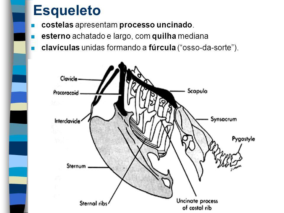 Esqueleto costelas apresentam processo uncinado.