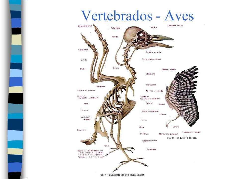 Vertebrados - Aves