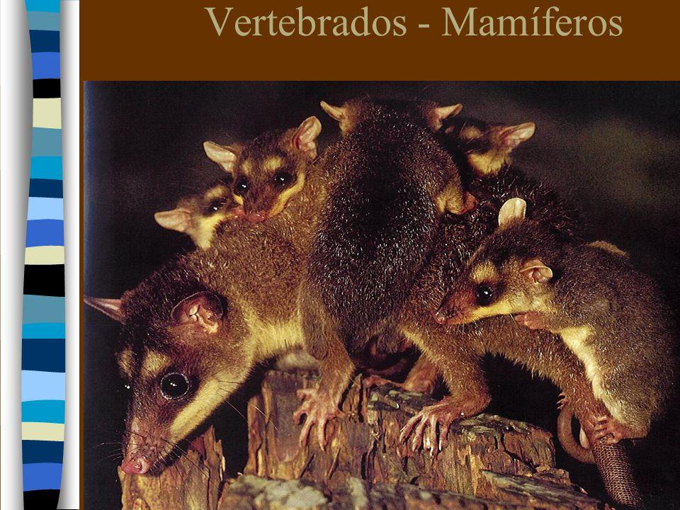Vertebrados - Mamíferos