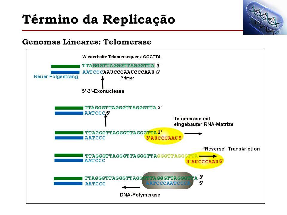 Término da Replicação Genomas Lineares: Telomerase