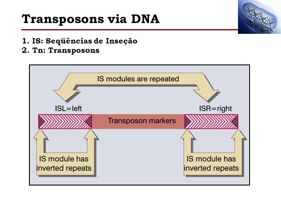 Transposons via DNA 1. IS: Seqüências de Inseção 2. Tn: Transposons