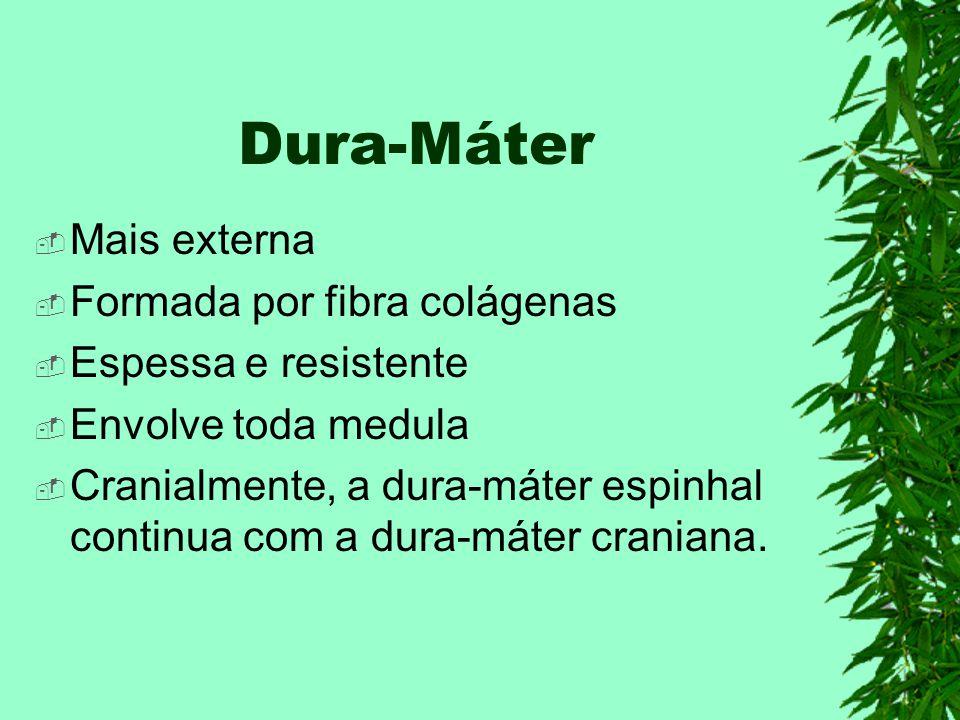 Dura-Máter Mais externa Formada por fibra colágenas
