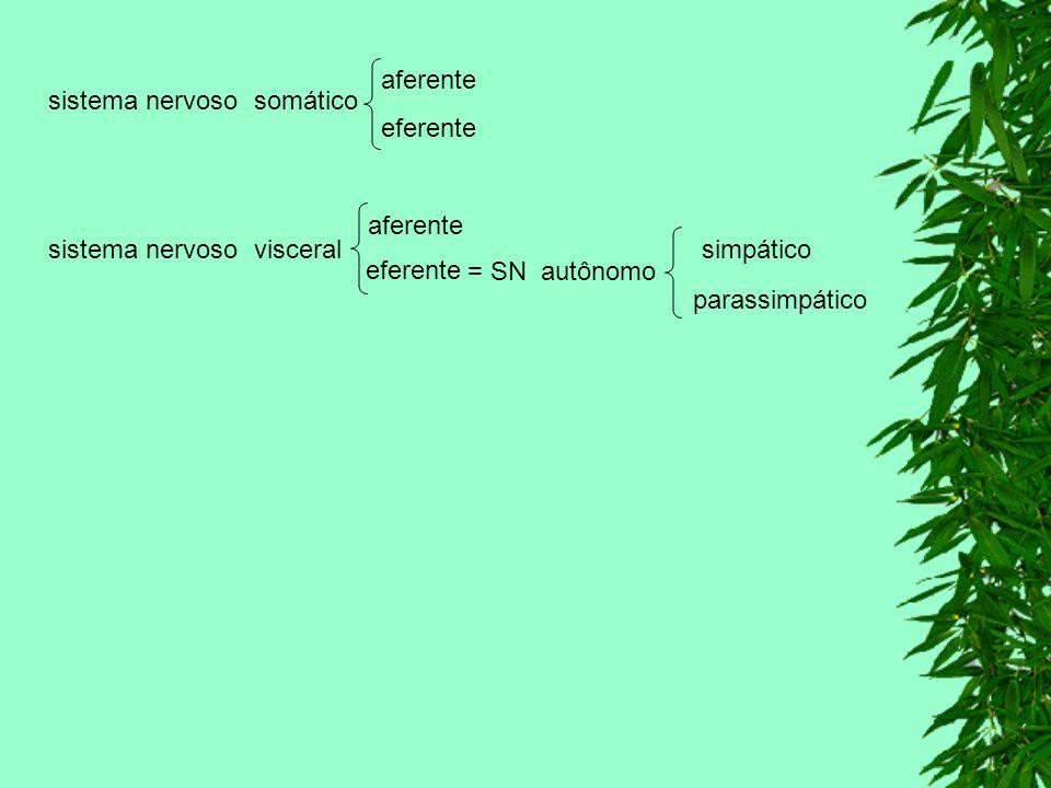 aferente sistema nervoso somático. eferente. aferente. sistema nervoso visceral. simpático. eferente.