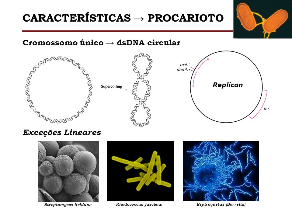 Streptomyces lividans Espiroquetas (Borrelia)