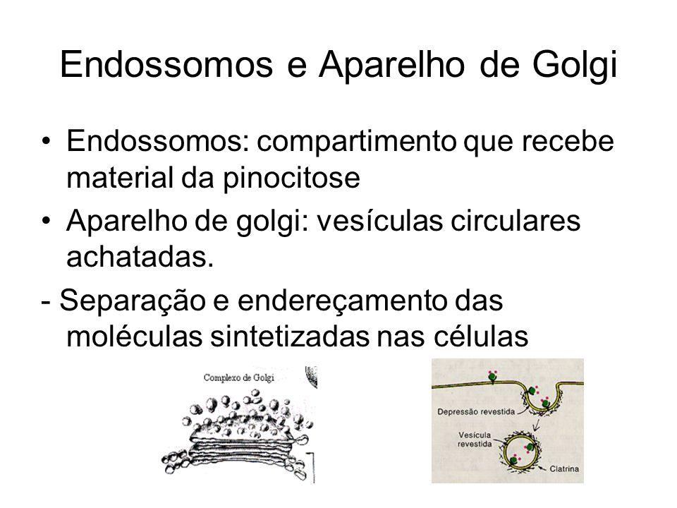 Endossomos e Aparelho de Golgi