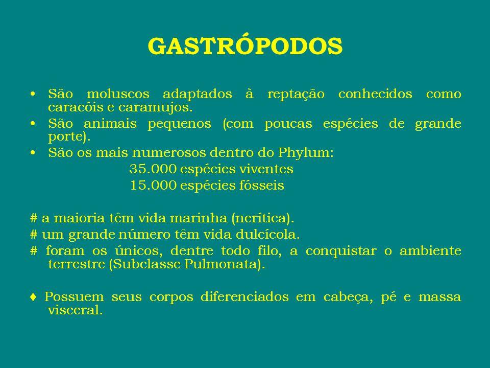 GASTRÓPODOS São moluscos adaptados à reptação conhecidos como caracóis e caramujos. São animais pequenos (com poucas espécies de grande porte).