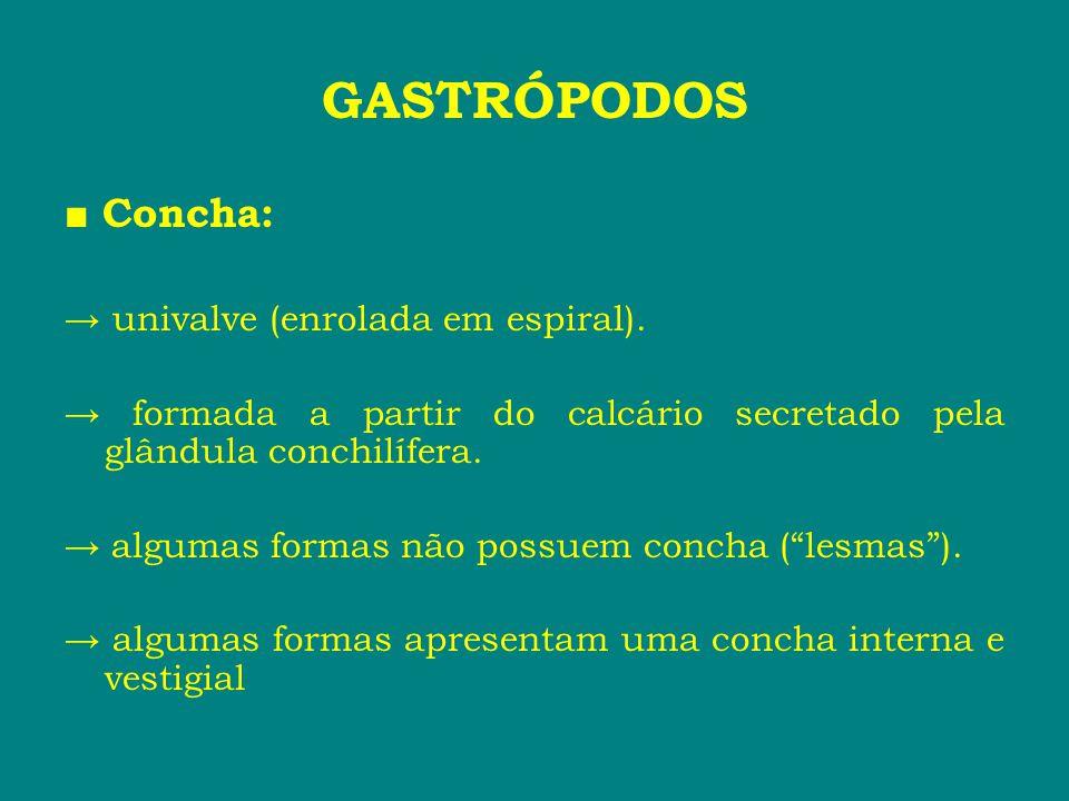 GASTRÓPODOS ■ Concha: → univalve (enrolada em espiral).