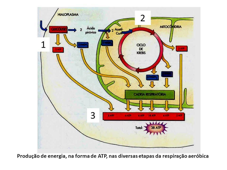 2 1 3 Produção de energia, na forma de ATP, nas diversas etapas da respiração aeróbica