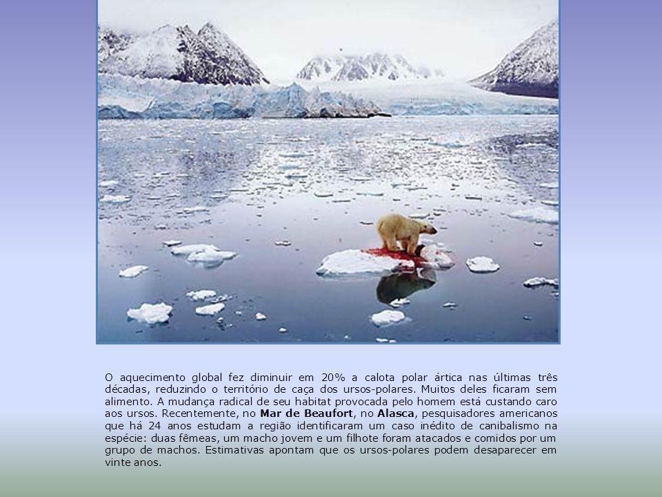 O aquecimento global fez diminuir em 20% a calota polar ártica nas últimas três décadas, reduzindo o território de caça dos ursos-polares.