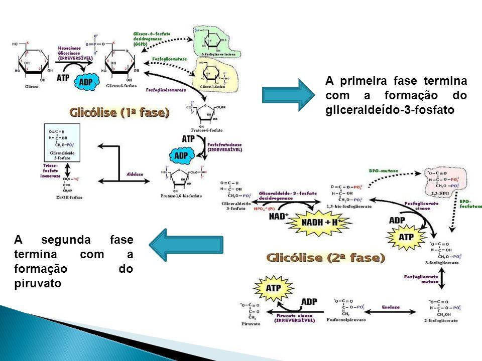 A primeira fase termina com a formação do gliceraldeído-3-fosfato