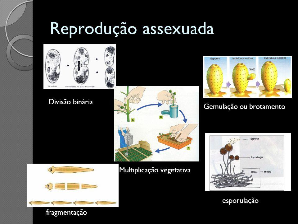Reprodução assexuada Divisão binária Gemulação ou brotamento