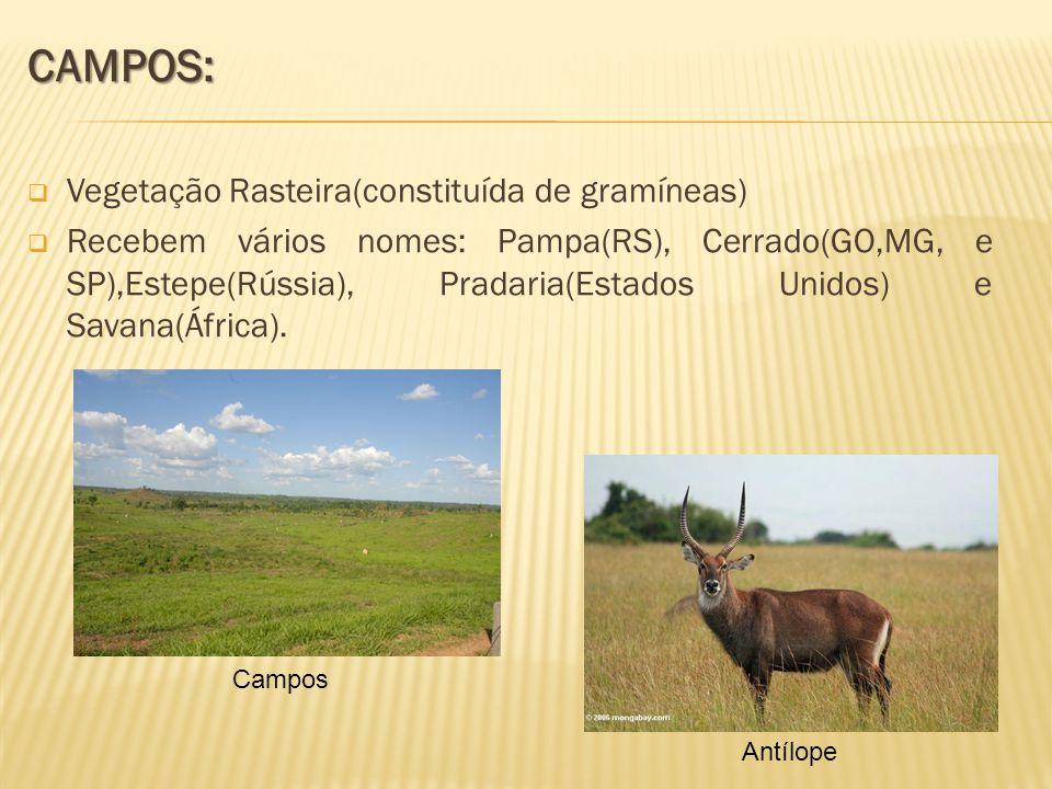 CAMPOS: Vegetação Rasteira(constituída de gramíneas)