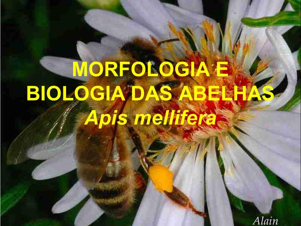 MORFOLOGIA E BIOLOGIA DAS ABELHAS Apis mellifera