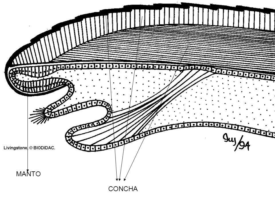 MANTO CONCHA