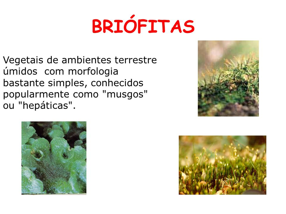 BRIÓFITAS Vegetais de ambientes terrestre úmidos com morfologia bastante simples, conhecidos popularmente como musgos ou hepáticas .