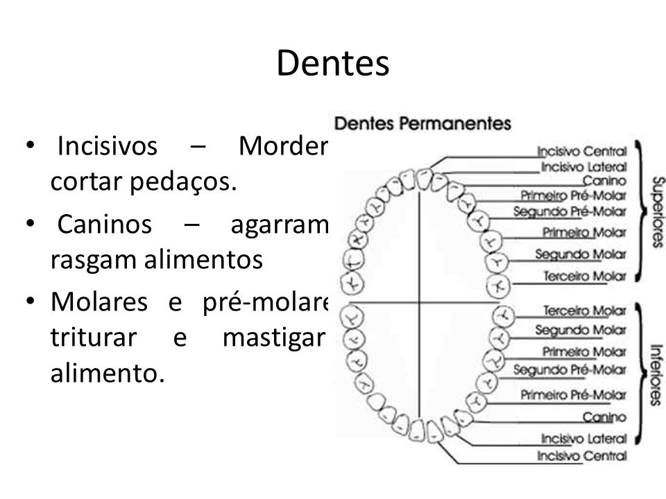 Dentes Incisivos – Morder e cortar pedaços.