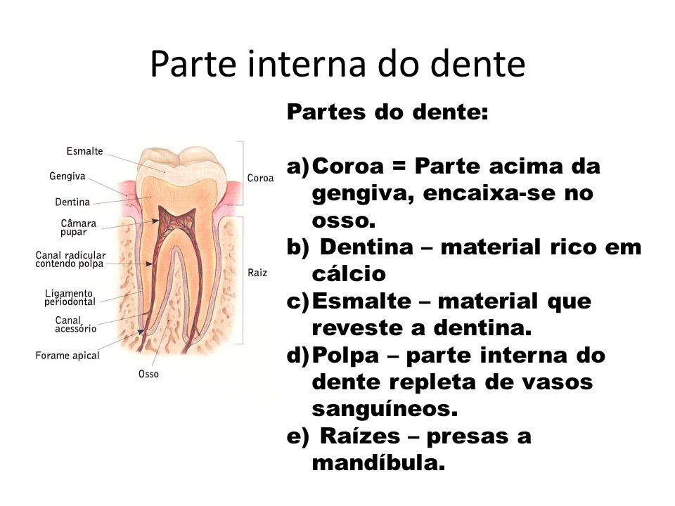 Parte interna do dente Partes do dente: