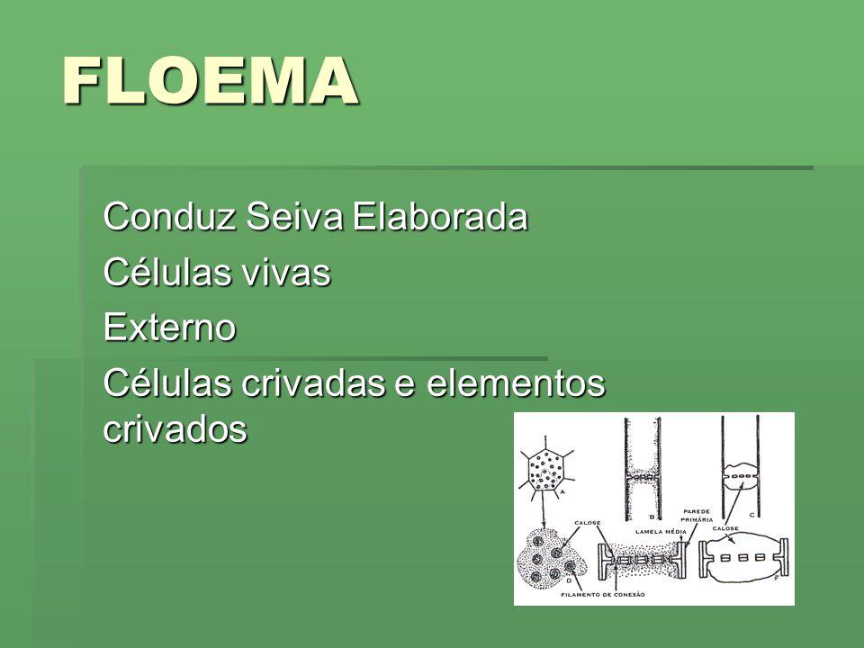 FLOEMA Conduz Seiva Elaborada Células vivas Externo