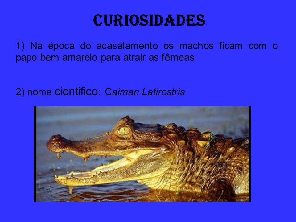 CURIOSIDADES 1) Na época do acasalamento os machos ficam com o papo bem amarelo para atrair as fêmeas.