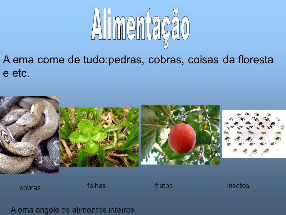 Alimentação A ema come de tudo:pedras, cobras, coisas da floresta e etc. folhas. frutos. insetos.