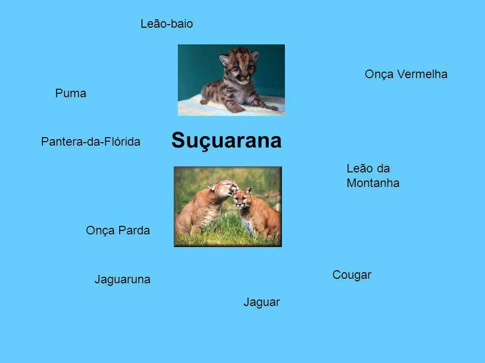 Suçuarana Leão-baio Onça Vermelha Puma Pantera-da-Flórida