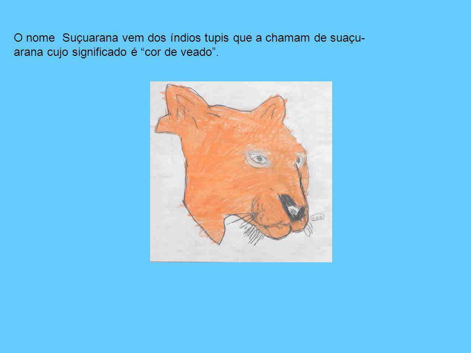O nome Suçuarana vem dos índios tupis que a chamam de suaçu-arana cujo significado é cor de veado .