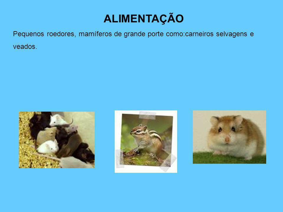 ALIMENTAÇÃO Pequenos roedores, mamíferos de grande porte como:carneiros selvagens e veados.