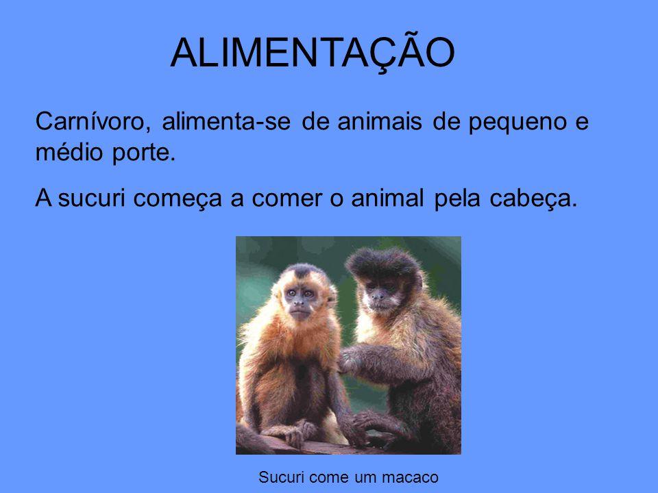 ALIMENTAÇÃO Carnívoro, alimenta-se de animais de pequeno e médio porte. A sucuri começa a comer o animal pela cabeça.