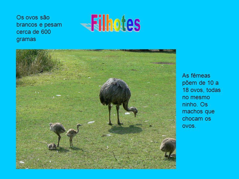 Filhotes Os ovos são brancos e pesam cerca de 600 gramas