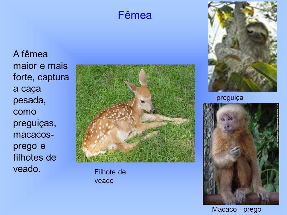 Fêmea A fêmea maior e mais forte, captura a caça pesada, como preguiças, macacos-prego e filhotes de veado.