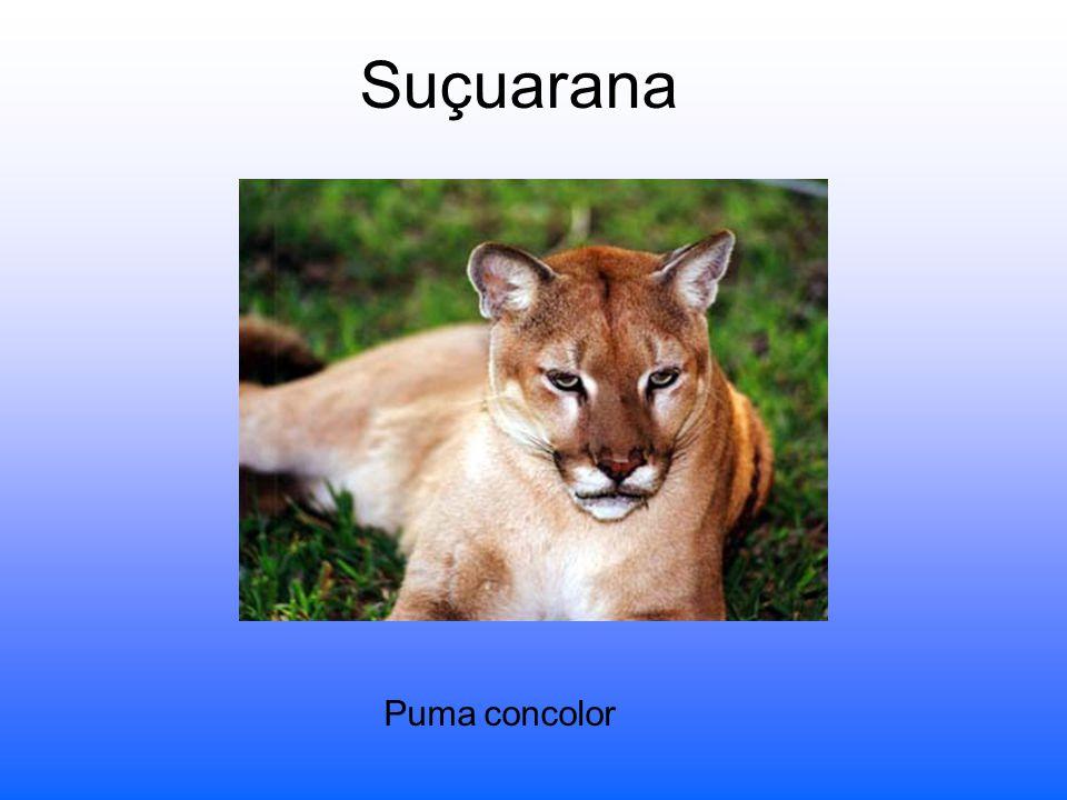 Suçuarana Puma concolor