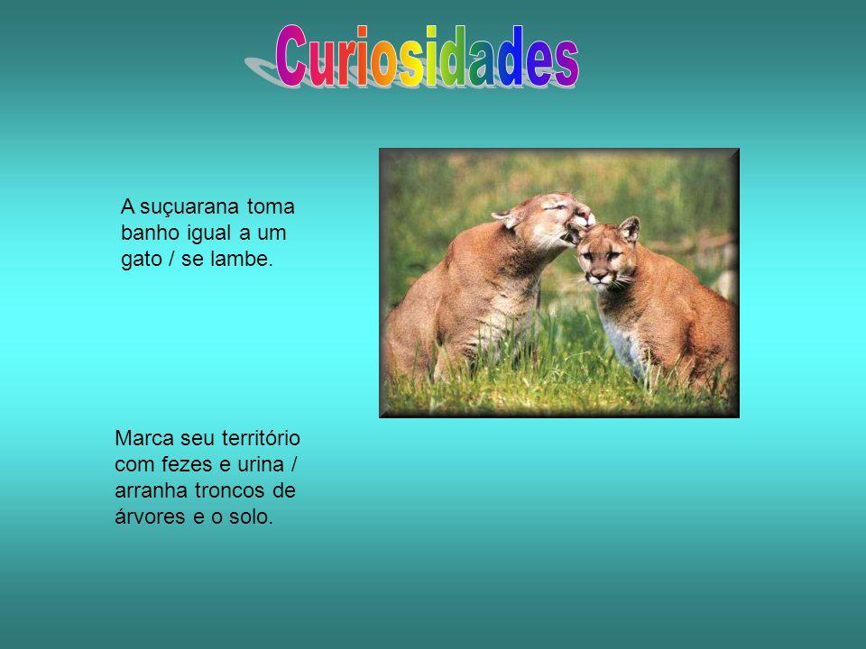 Curiosidades A suçuarana toma banho igual a um gato / se lambe.
