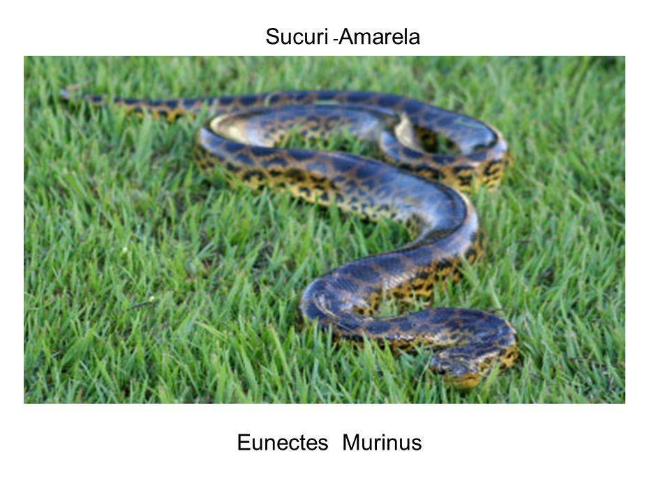 Sucuri -Amarela Eunectes Murinus
