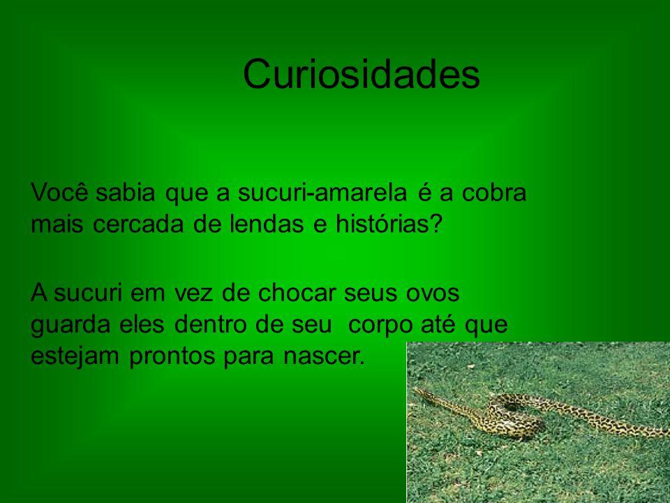 Curiosidades Você sabia que a sucuri-amarela é a cobra mais cercada de lendas e histórias