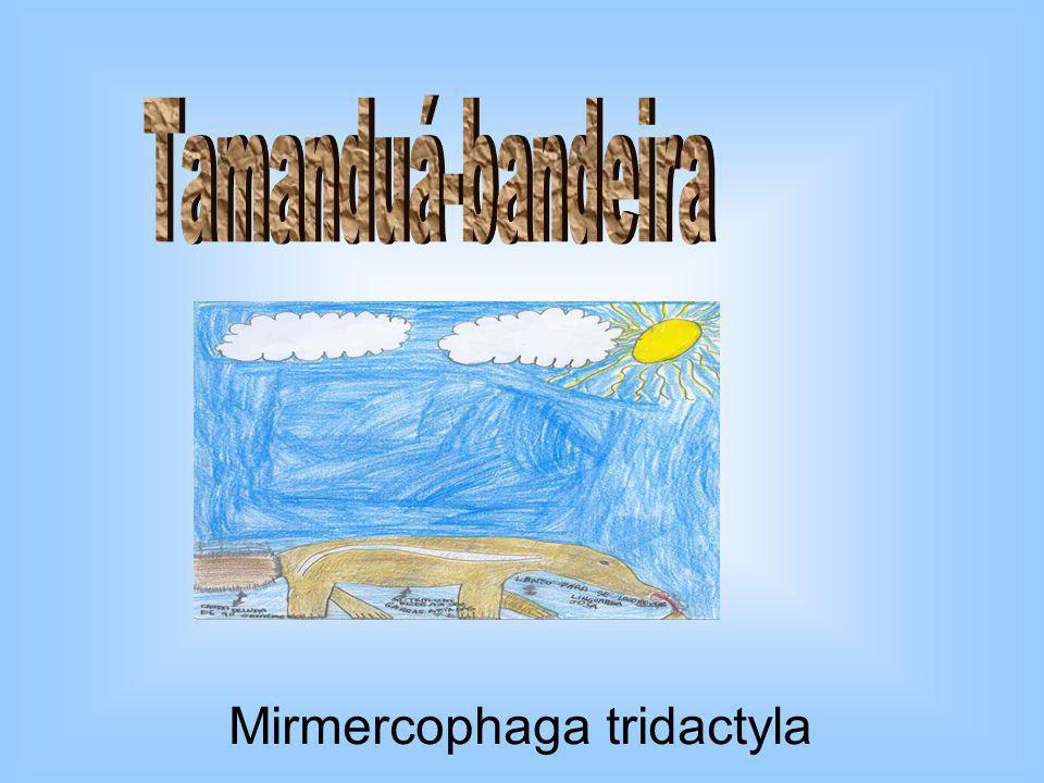 Tamanduá-bandeira Mirmercophaga tridactyla