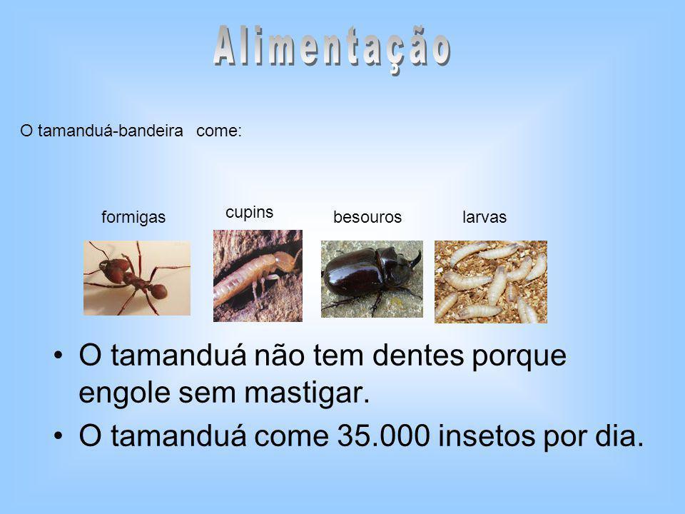 Alimentação O tamanduá não tem dentes porque engole sem mastigar.