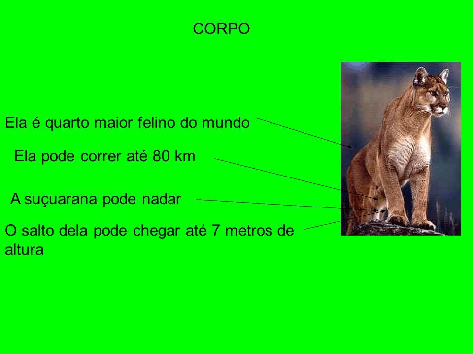 CORPO Ela é quarto maior felino do mundo. Ela pode correr até 80 km.